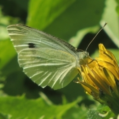 Pieris rapae (Cabbage White) at Conder, ACT - 5 Apr 2021 by michaelb
