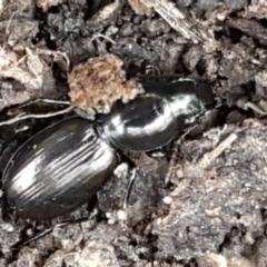 Promecoderus sp. (genus) (Predaceous ground beetle) at Flea Bog Flat, Bruce - 25 May 2021 by tpreston