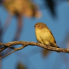 Smicrornis brevirostris (Weebill) at Mount Ainslie - 18 May 2021 by jbromilow50