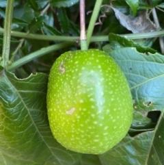 Passiflora herbertiana subsp. herbertiana (Native Passionfruit) at - 25 May 2021 by KarenG