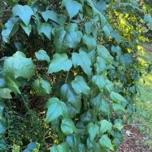 Passiflora herbertiana subsp. herbertiana at Robertson - 25 May 2021