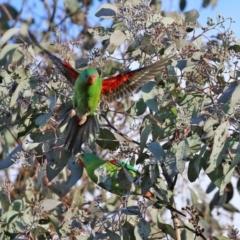 Lathamus discolor (Swift Parrot) at Kambah, ACT - 23 May 2021 by RodDeb