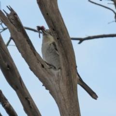 Cracticus torquatus (Grey Butcherbird) at Namadgi National Park - 24 May 2021 by RodDeb