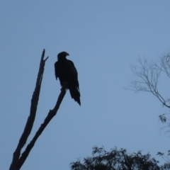 Aquila audax (Wedge-tailed Eagle) at Red Hill, ACT - 23 May 2021 by roymcd