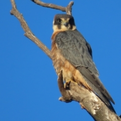 Falco longipennis (Australian Hobby) at Garran, ACT - 22 May 2021 by roymcd