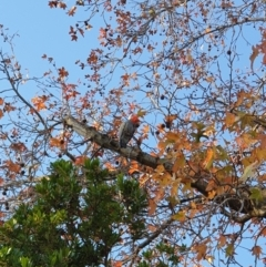 Callocephalon fimbriatum (Gang-gang Cockatoo) at Albury, NSW - 28 Jun 2020 by ClaireSee