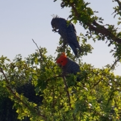 Callocephalon fimbriatum (Gang-gang Cockatoo) at Albury, NSW - 30 Jan 2020 by ClaireSee
