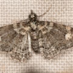 Chloroclystis pallidiplaga (White-shouldered Pug Moth) at Melba, ACT - 19 Nov 2020 by Bron