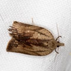 Epiphyas postvittana (Light Brown Apple Moth) at Melba, ACT - 20 Nov 2020 by Bron