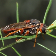 Perga sp. (genus) (Sawfly or Spitfire) at ANBG - 9 May 2021 by TimL