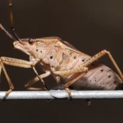 Poecilometis strigatus (Gum Tree Shield Bug) at ANBG - 9 May 2021 by TimL