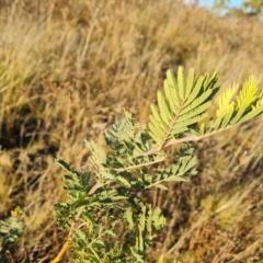 Acacia dealbata (Silver Wattle) at Jerrabomberra, ACT - 25 May 2021 by Mike