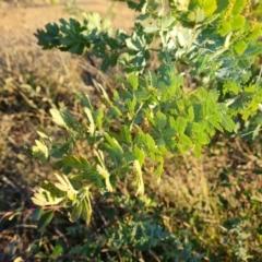 Acacia baileyana (Cootamundra Wattle, Golden Mimosa) at Jerrabomberra, ACT - 25 May 2021 by Mike