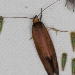 Delexocha ochrocausta (A concealer moth) at Melba, ACT - 19 Nov 2020 by Bron