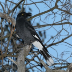 Strepera graculina (Pied Currawong) at Ainslie, ACT - 28 Jul 2020 by jbromilow50
