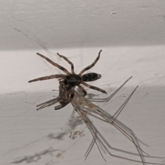Lampona sp. (genus) (White-tailed spider) at Kambah, ACT - 26 May 2021 by HelenCross