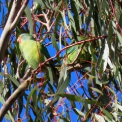 Lathamus discolor (Swift Parrot) at Kambah, ACT - 26 May 2021 by RodDeb
