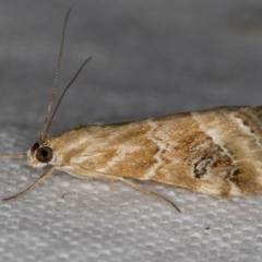 Hellula hydralis (Cabbage Centre Moth) at Melba, ACT - 19 Nov 2020 by Bron