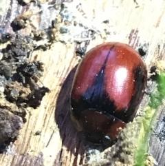 Paropsisterna sp. (genus) (A leaf beetle) at Hughes Garran Woodland - 21 May 2021 by Tapirlord