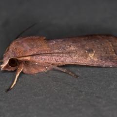 Diarsia intermixta (Chevron Cutworm) at Melba, ACT - 20 Nov 2020 by Bron