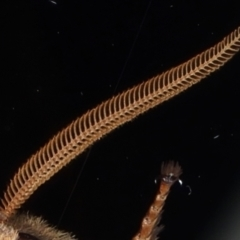 Oxycanus silvanus at Ainslie, ACT - 25 May 2021