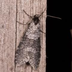Lepidoscia adelopis (A case moth) at Melba, ACT - 21 May 2021 by kasiaaus