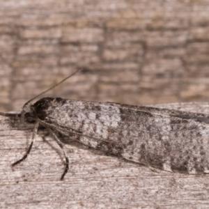Lepidoscia adelopis at Melba, ACT - 22 May 2021