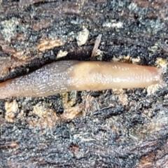 Deroceras laeve (Marsh Slug) at Bruce, ACT - 27 May 2021 by tpreston