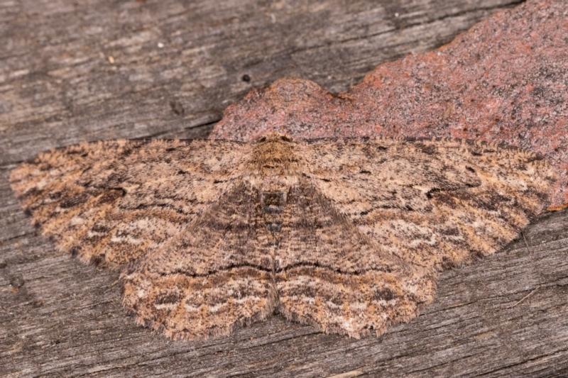 Ectropis excursaria at Melba, ACT - 25 May 2021