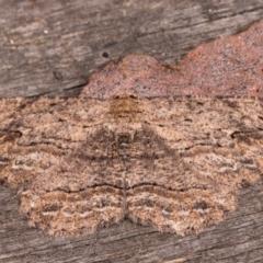 Ectropis excursaria (Common Bark Moth) at Melba, ACT - 24 May 2021 by kasiaaus