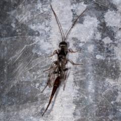 Monomachus antipodalis (A parasitic wasp) at Melba, ACT - 24 May 2021 by kasiaaus