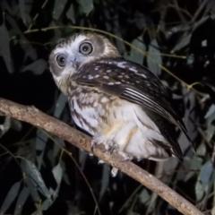 Ninox boobook (Southern Boobook) at Splitters Creek, NSW - 26 May 2021 by WingsToWander
