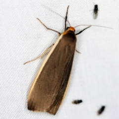 Palaeosia bicosta (Two-ribbed Footman) at Paddys River, ACT - 12 Mar 2021 by ibaird