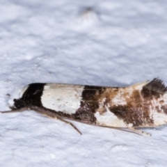 Monopis icterogastra (Wool Moth) at Melba, ACT - 25 May 2021 by kasiaaus