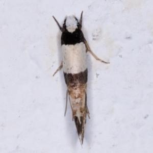 Monopis icterogastra at Melba, ACT - 25 May 2021