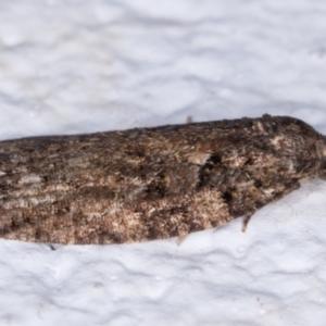 Tortricinae (subfamily) at Melba, ACT - 25 May 2021