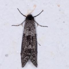 Lepidoscia adelopis (A case moth) at Melba, ACT - 26 May 2021 by kasiaaus