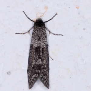 Lepidoscia adelopis at Melba, ACT - 26 May 2021