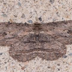 Ectropis excursaria (Common Bark Moth) at Melba, ACT - 25 May 2021 by kasiaaus