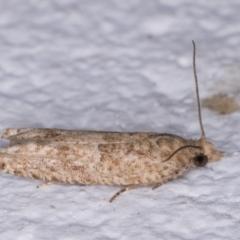 Crocidosema plebejana (Cotton Tipworm Moth) at Melba, ACT - 25 May 2021 by kasiaaus