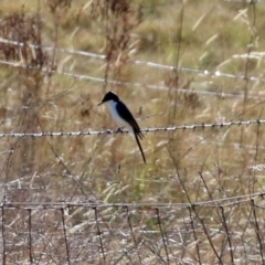 Myiagra inquieta (Restless Flycatcher) at Cooleman Ridge - 27 May 2021 by RodDeb