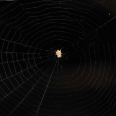 Unidentified Orb-weaving spider (several families) (TBC) at Acton, ACT - 9 May 2021 by TimL