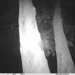 Petaurus norfolcensis (Squirrel Glider) at - 12 Apr 2021 by ChrisAllen