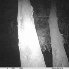 Petaurus norfolcensis (Squirrel Glider) at Thurgoona, NSW - 15 Apr 2021 by ChrisAllen