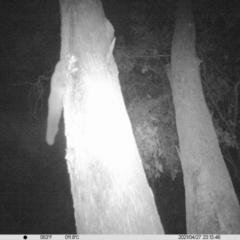 Petaurus norfolcensis (Squirrel Glider) at - 27 Apr 2021 by ChrisAllen