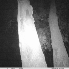 Petaurus norfolcensis (Squirrel Glider) at Thurgoona, NSW - 7 May 2021 by ChrisAllen