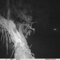 Petaurus norfolcensis (Squirrel Glider) at Thurgoona, NSW - 12 Apr 2021 by ChrisAllen