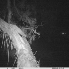 Petaurus norfolcensis (Squirrel Glider) at Thurgoona, NSW - 17 Apr 2021 by ChrisAllen