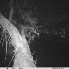 Petaurus norfolcensis (Squirrel Glider) at Thurgoona, NSW - 27 Apr 2021 by ChrisAllen