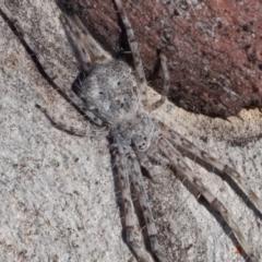 Tamopsis sp. (genus) (Two-tailed spider) at Kambah, ACT - 27 May 2021 by rawshorty